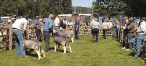 Herdwick Sheep Show at Coniston Country Fair