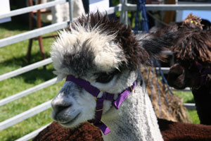 Alpacas at Coniston Country Fair
